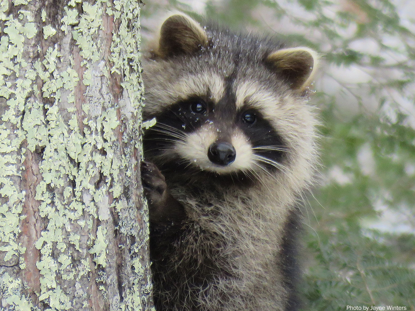 Raccoon, photo by Jayne Winters