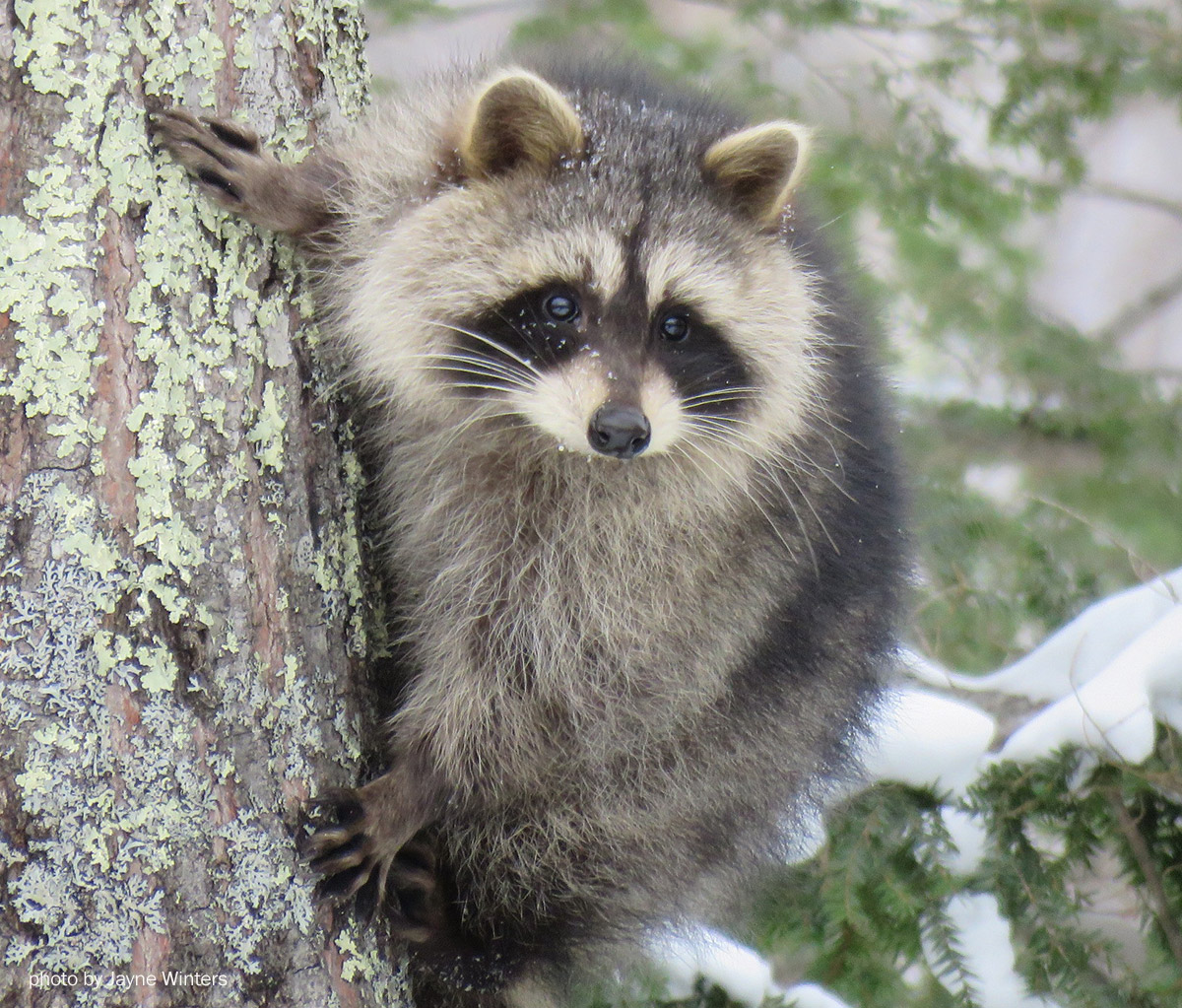 Raccoon photo by Jayne Winters