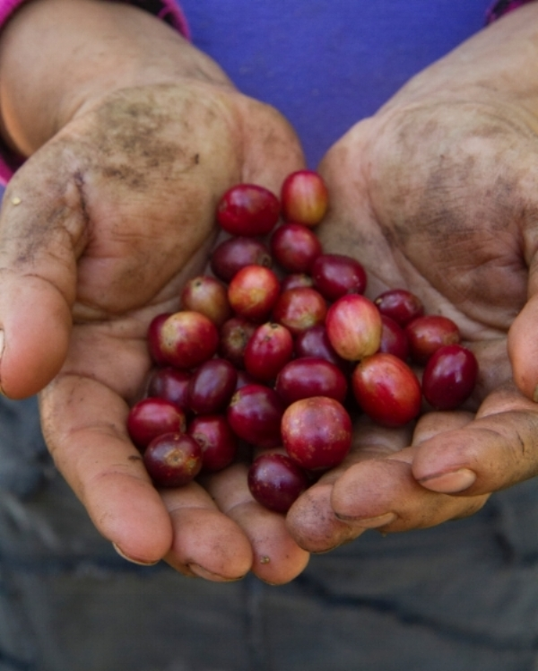 "Coffee ""cherries,"" freshly picked and ready to be processed. Ripening beneath the shade of an intact, functioning forest, traditional shade-grown coffee produces beans with superior flavor while preserving critical bird habitat. (©Scott Weidensaul))"