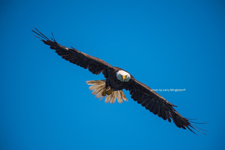 Eagle in flight by Larry Mingledorff