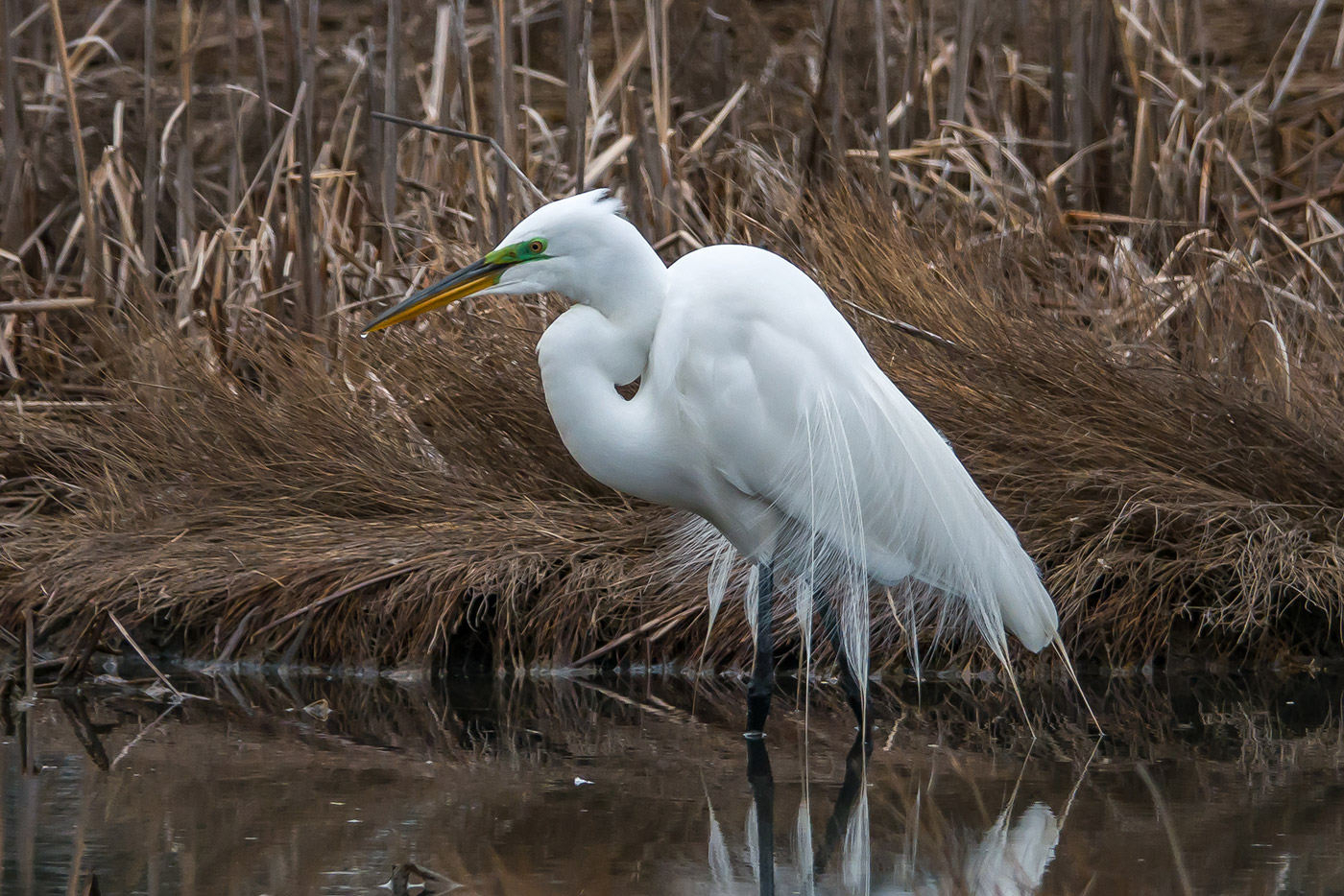 Great Egret by Earl Wilcher