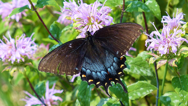 Black swallowtail on wild bergamot, or bee balm (Monarda fistulosa; photo by plant4wildlife on Flickr)
