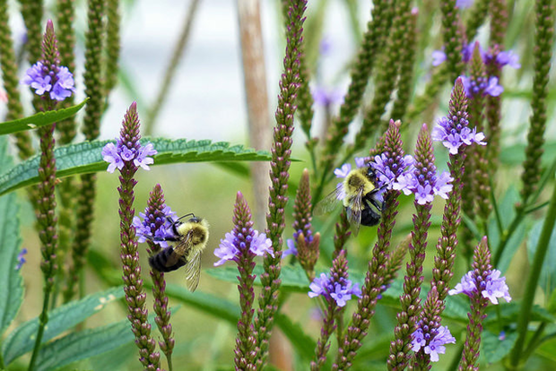 Bumblebees on blue vervain (Verbena hastata; photo by plant4wildlife on Flickr)