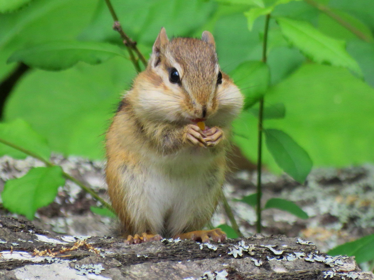 Chipmunk in South China, Maine