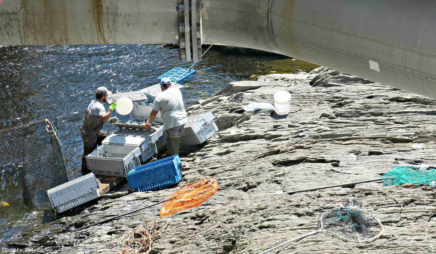 harvesting alewives