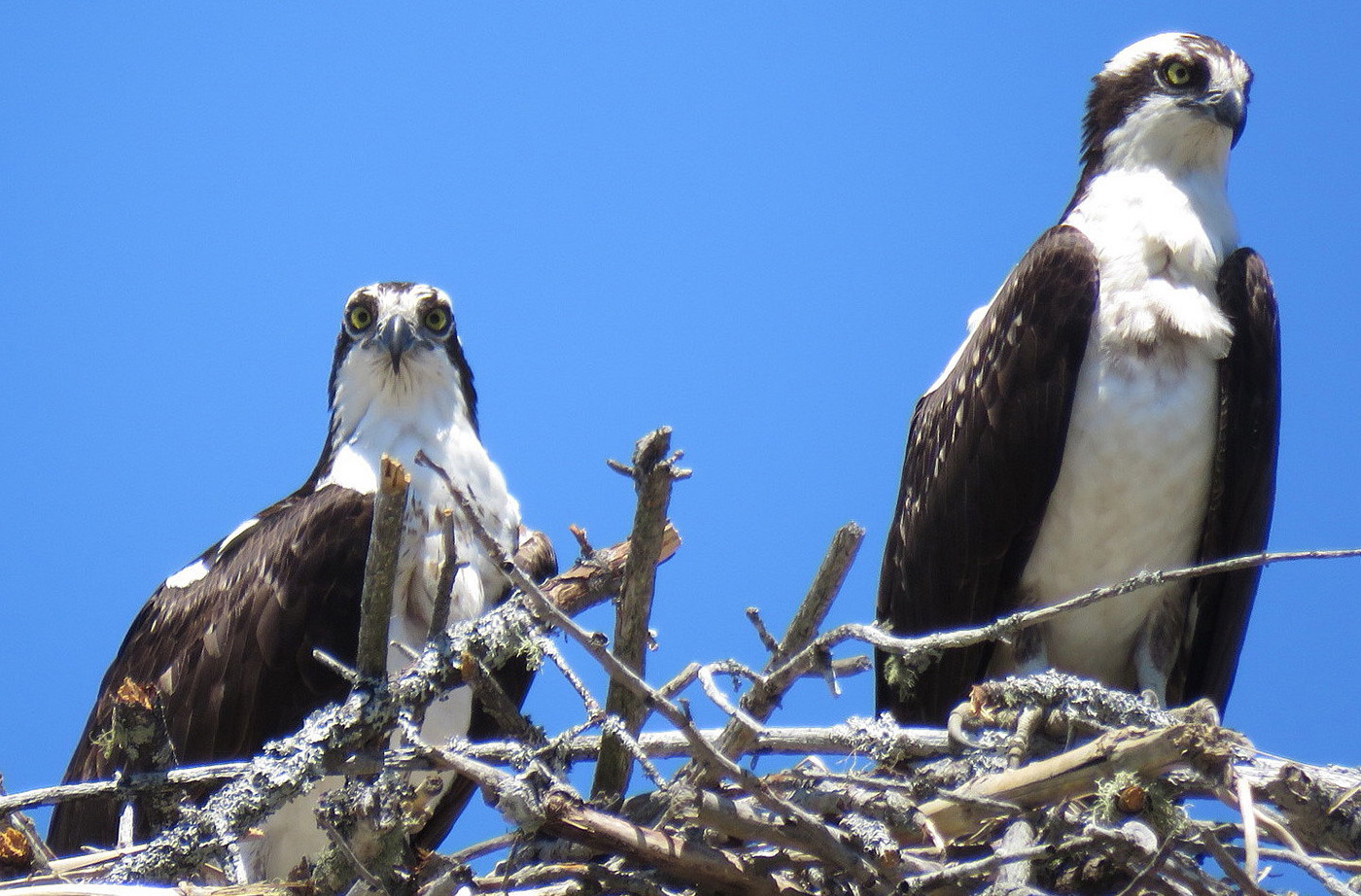 Osprey in their nest in Augusta, Maine
