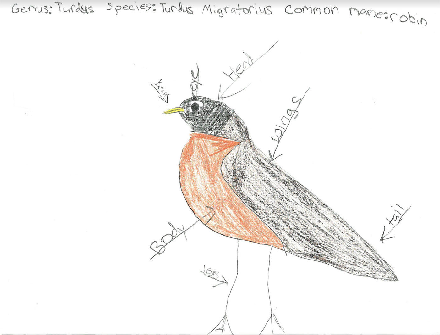 robin drawing by Lincolnville student