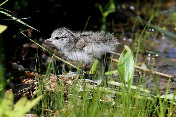 Spotted Sandpiper chick near the Penobscot River in Old Town, Maine