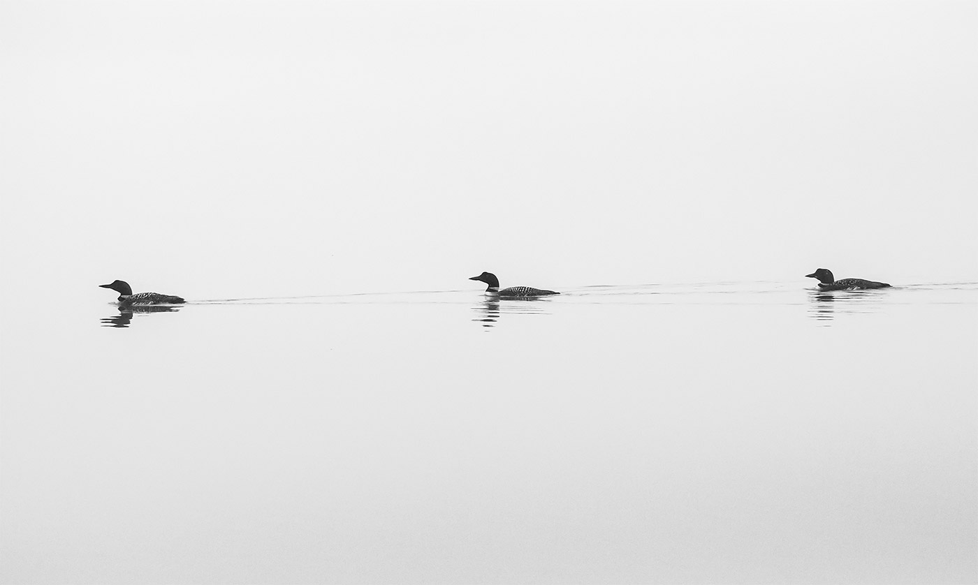 Loons on Brettun's Pond in Livermore. Photo by Ted Anderson