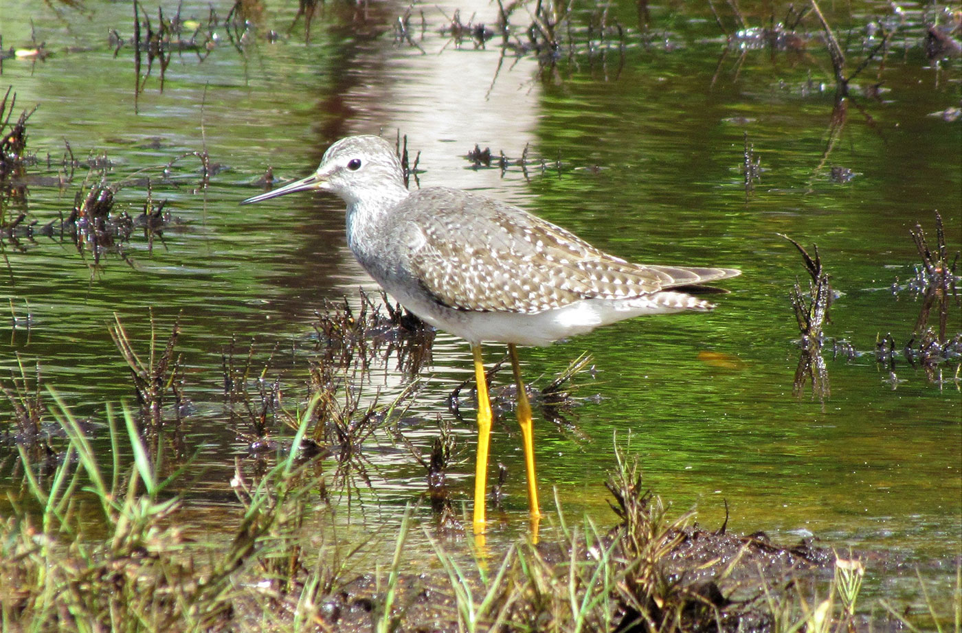 Yellowlegs and the Year of the Bird