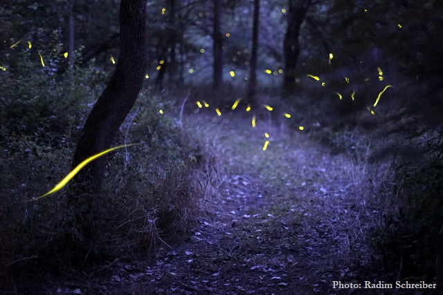Bring the Magic of Fireflies Back Home Again