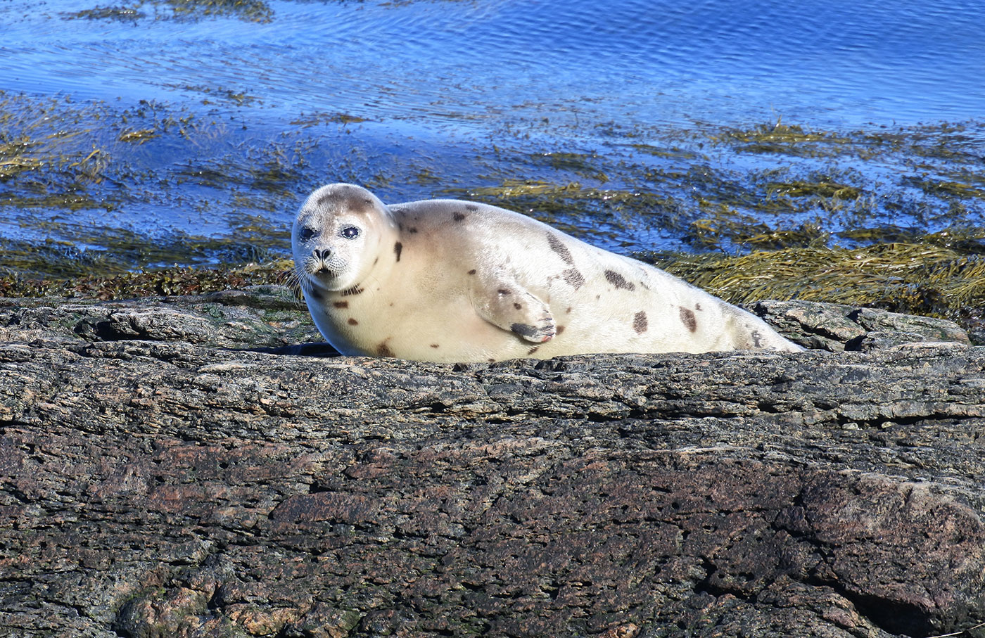 Harp seal in Tenants Harbor