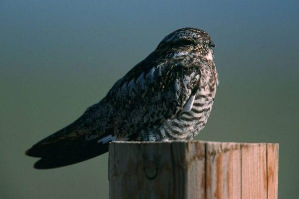 Common Nighthawk USFWS