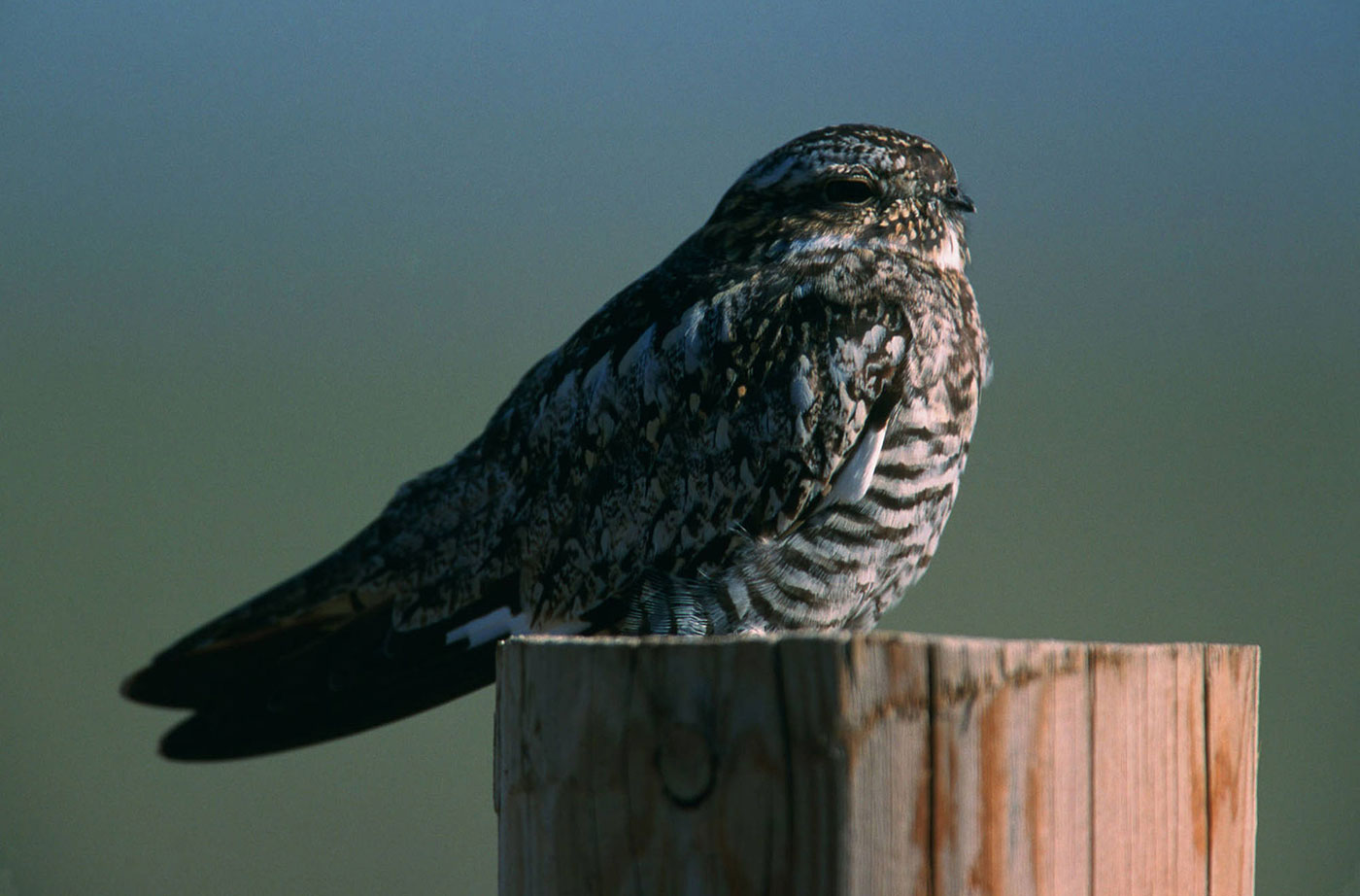 To Brazil and Back: Nighthawk Migration Revealed