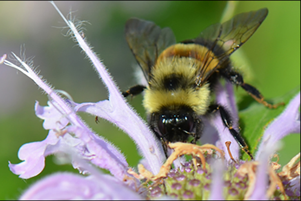 Rusty Patched Bumble Bee by Kim Mitchell/USFWS