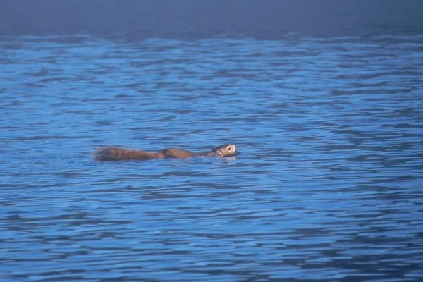 squirrel swimming in Maine