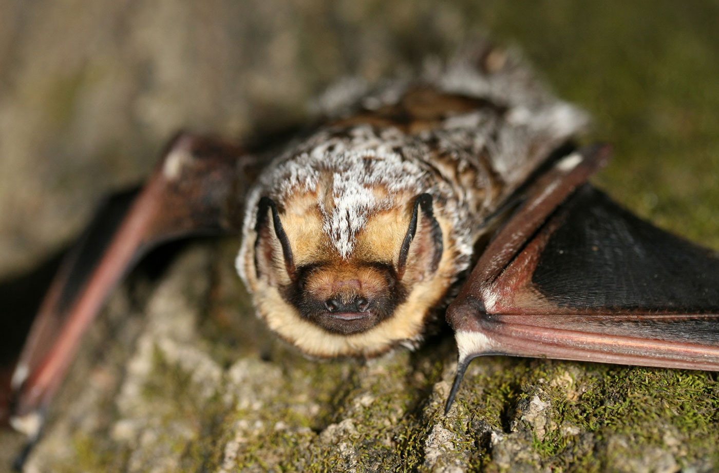 Hoary Bat by Dave Yates