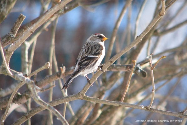 Common Redpoll courtesy Jeff Wells