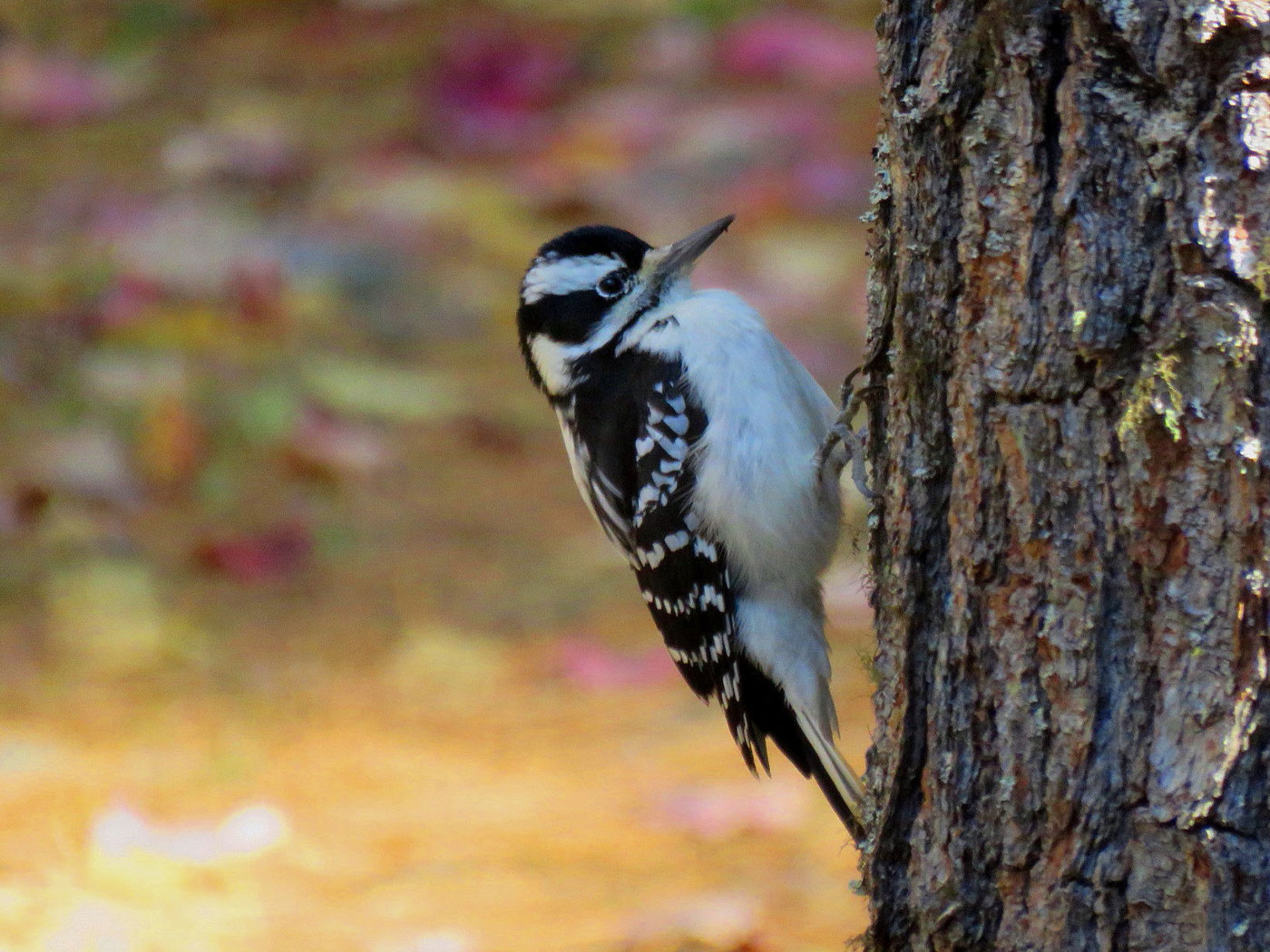 Juvenile Hairy Woodpecker in Sebec, Maine