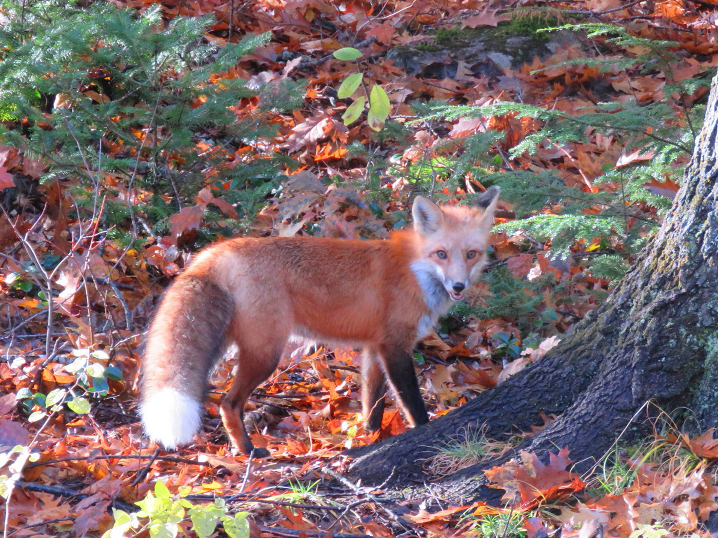 Young red fox in South China, Maine