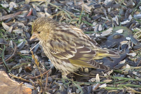Pine Siskin by Jeff Wells