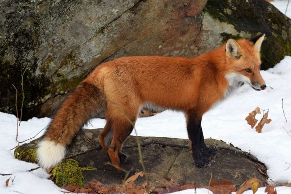 Hal Winters Red fox in South China