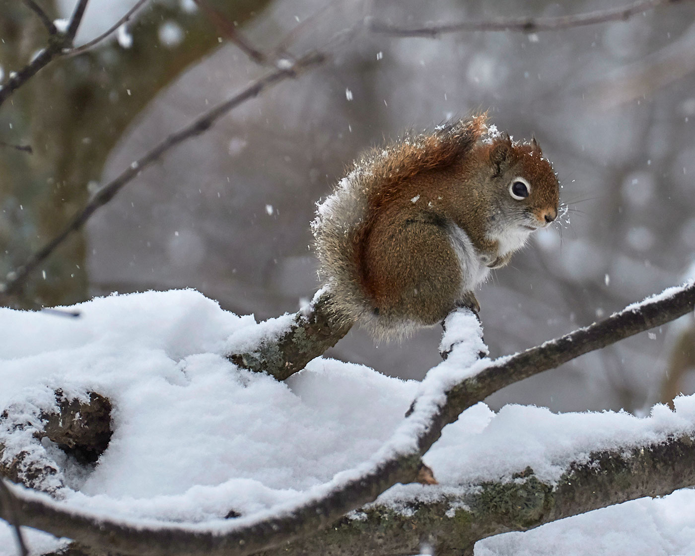 Red squirrel in Old Town by Pam Wells