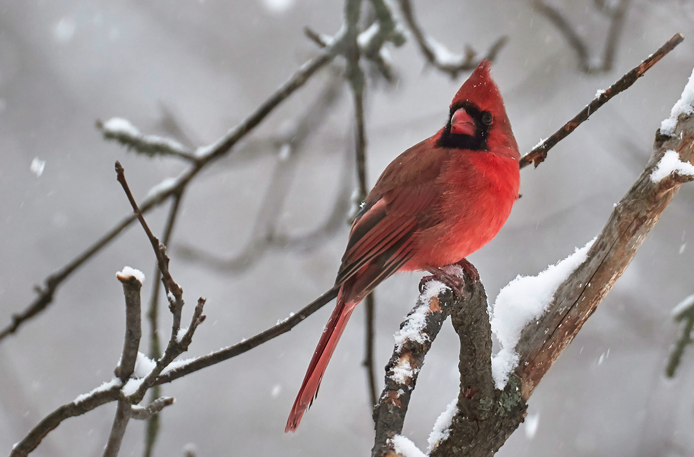 cardinal in Old Town, Pam Wells
