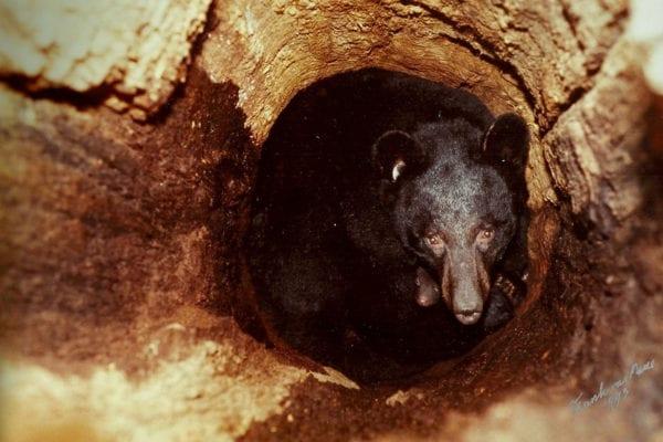 Hibernating bear photo by Frank T vanManen