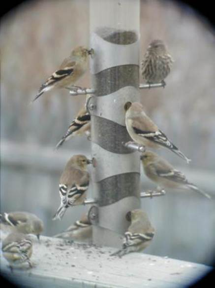 American Goldfinches and Pine Siskin birdfeeder