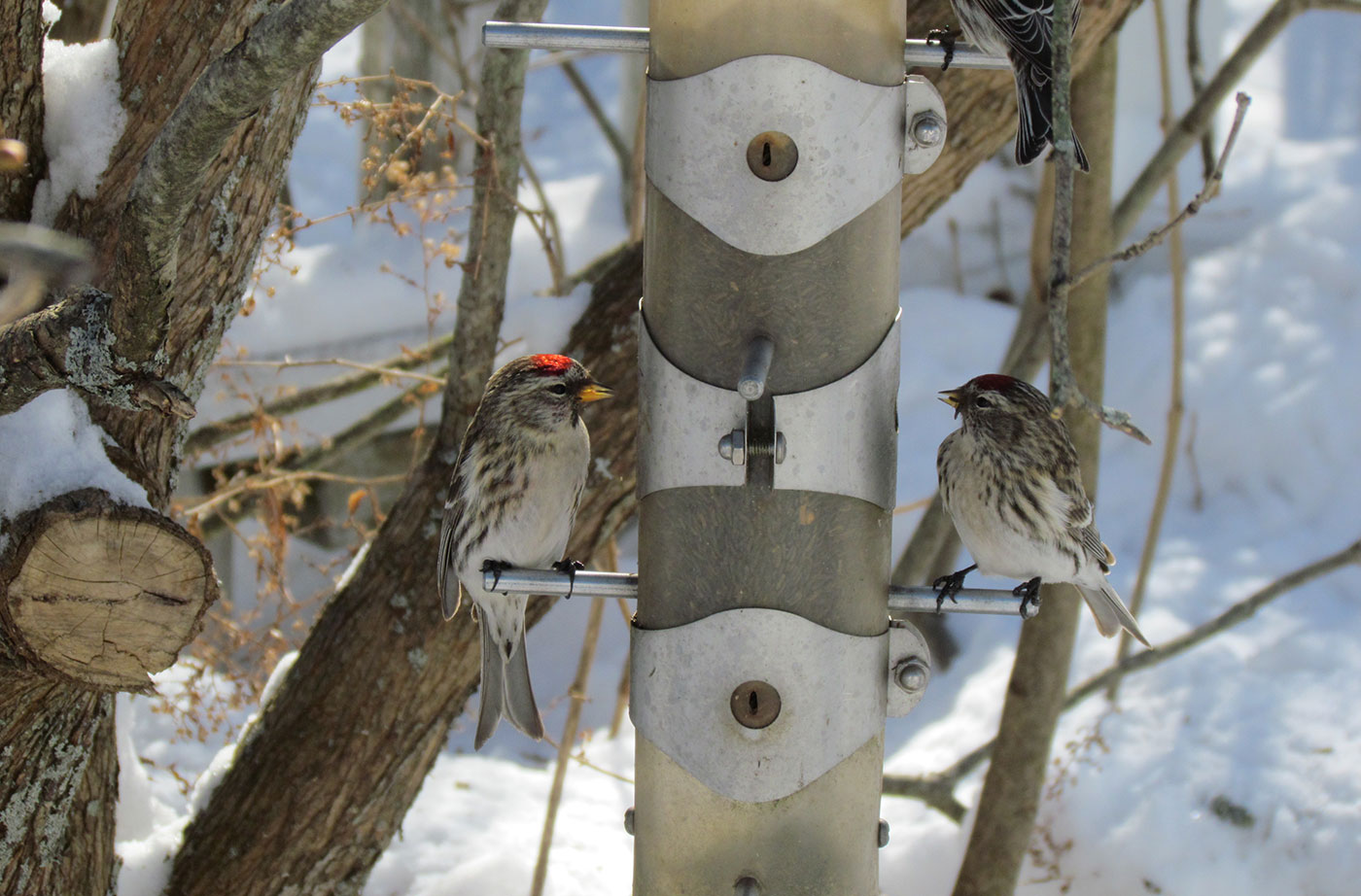 Common Redpolls at bird feeder