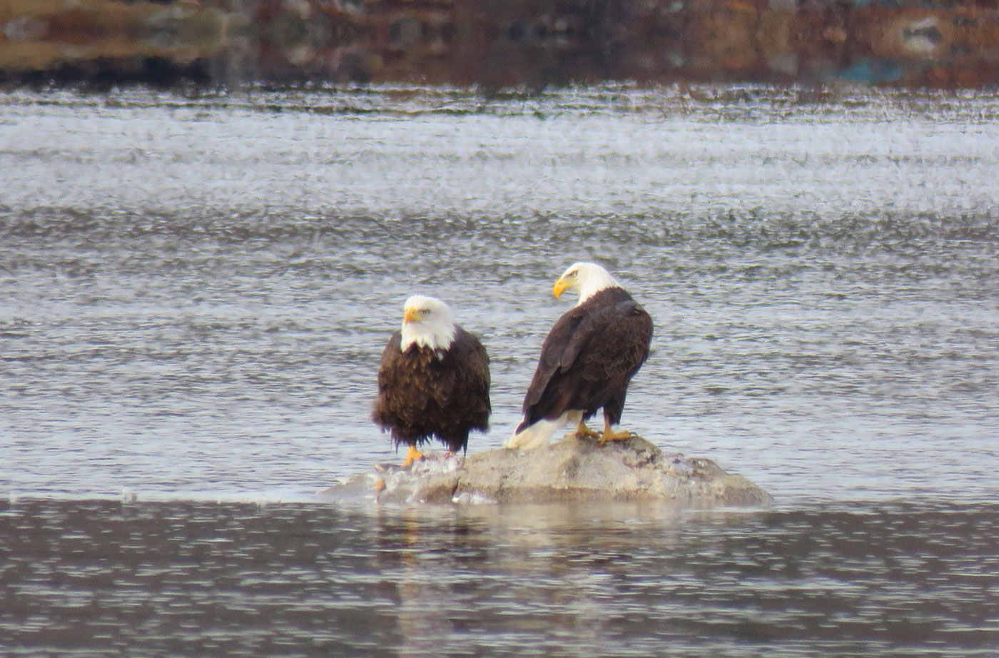 Bald Eagles on Togus Pond