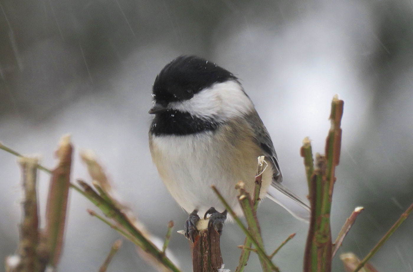 Black-capped Chickadee in South China, Maine