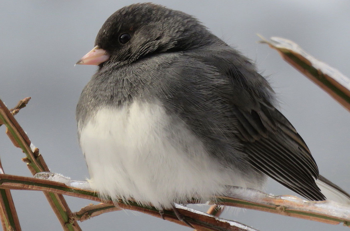 Dark-eyed Junco in South China, Maine