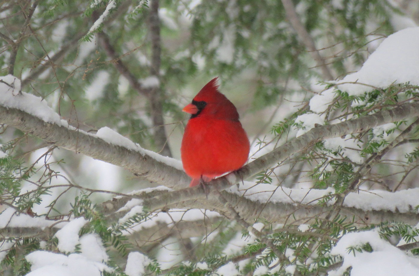 Northern Cardinal in South China, Maine