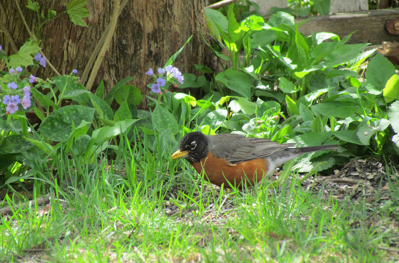 American Robin by Jeff Wells
