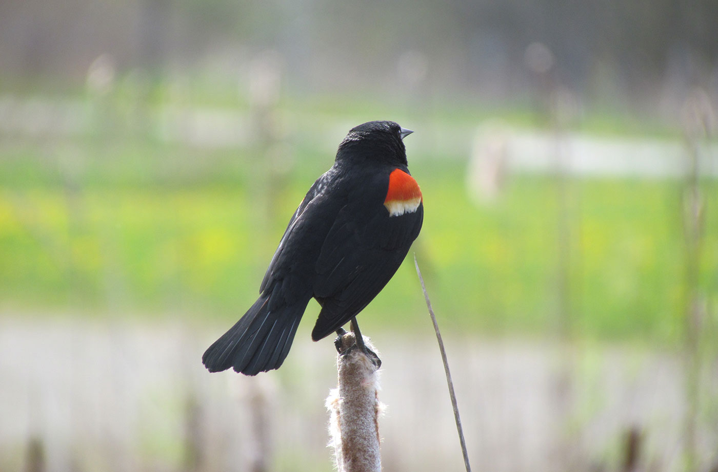 Red-winged Blackbird by Jeff Wells