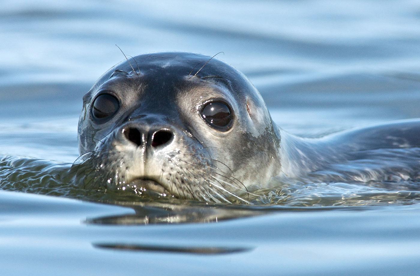 Harbor seal Gerard Monteux