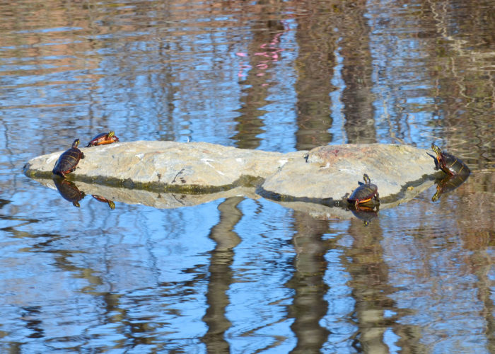 painted turtles in Portland by Callie Wronker