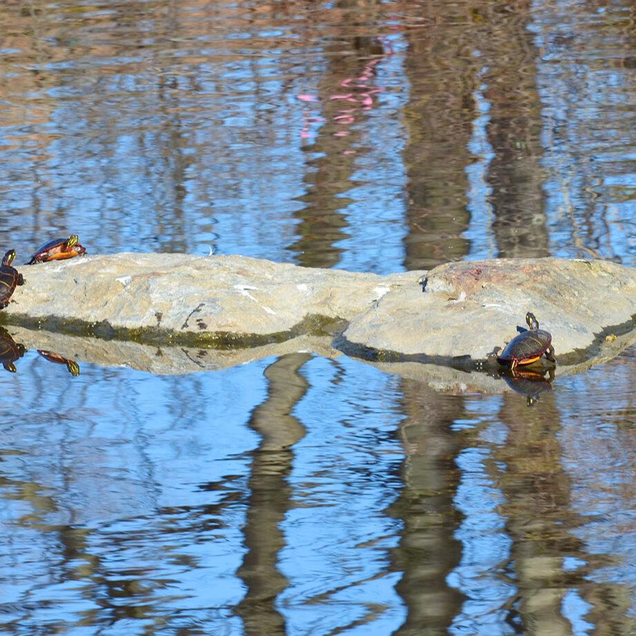 painted turtles in Portland by Callie Wronker
