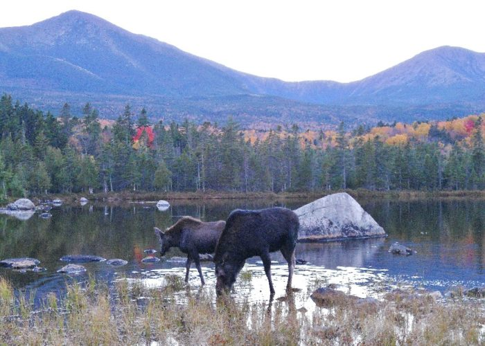 mother moose and her calf