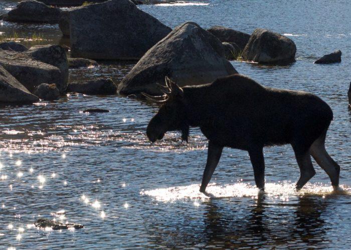 bull-moose-baxter-state-park