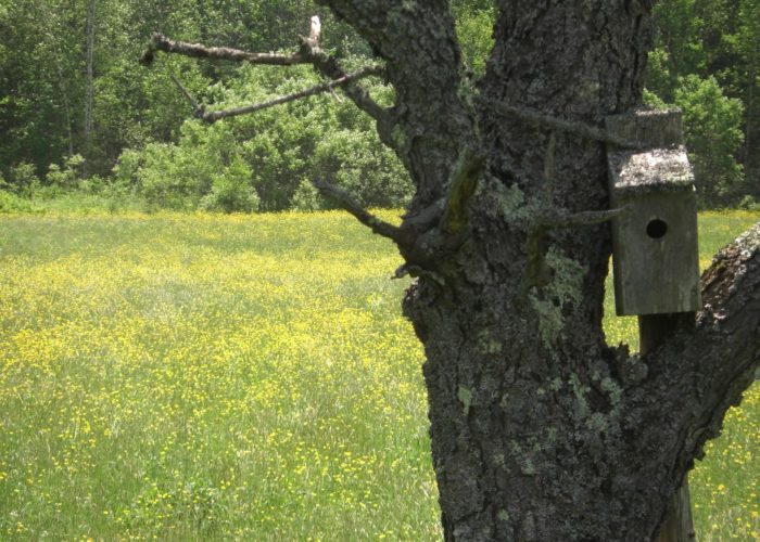 Buttercups and a birdhouse