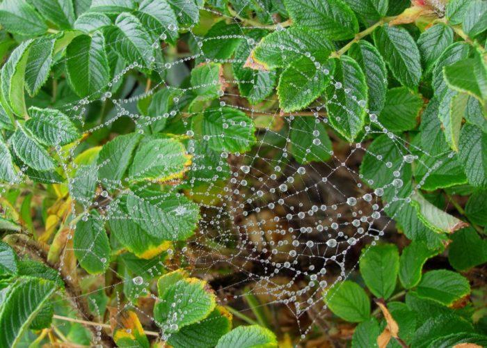 spider web in dew