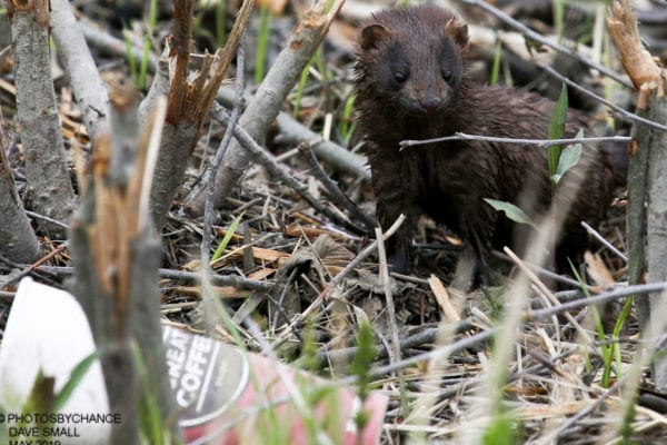 mink with litter by Dave Small