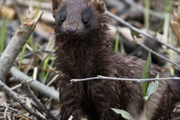 mink by David Small
