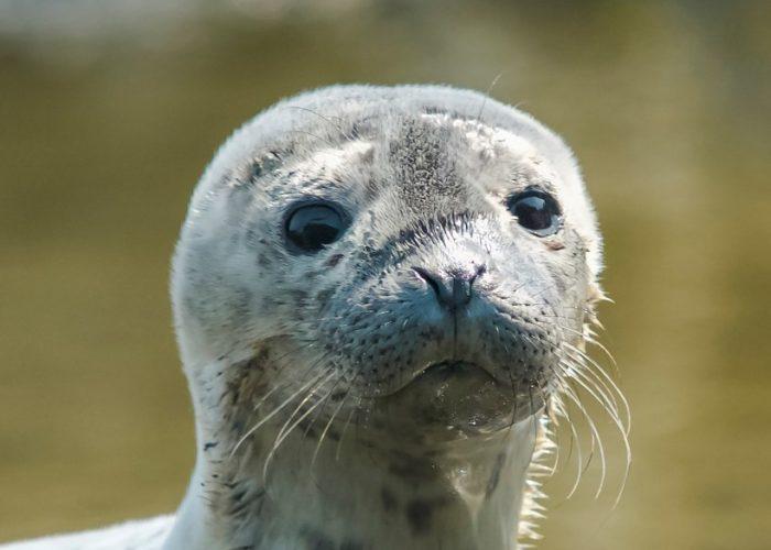 baby-harbor-seal-gerard-monteux