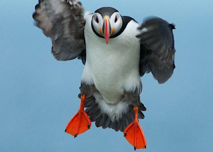 parachute-puffin-gerard-monteux
