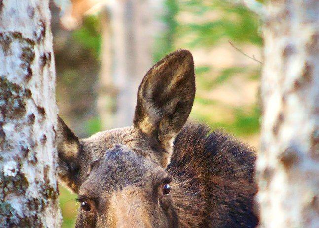 moose-baxter-state-park-gerard-monteux