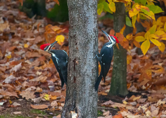 Pileated-woodpeckers